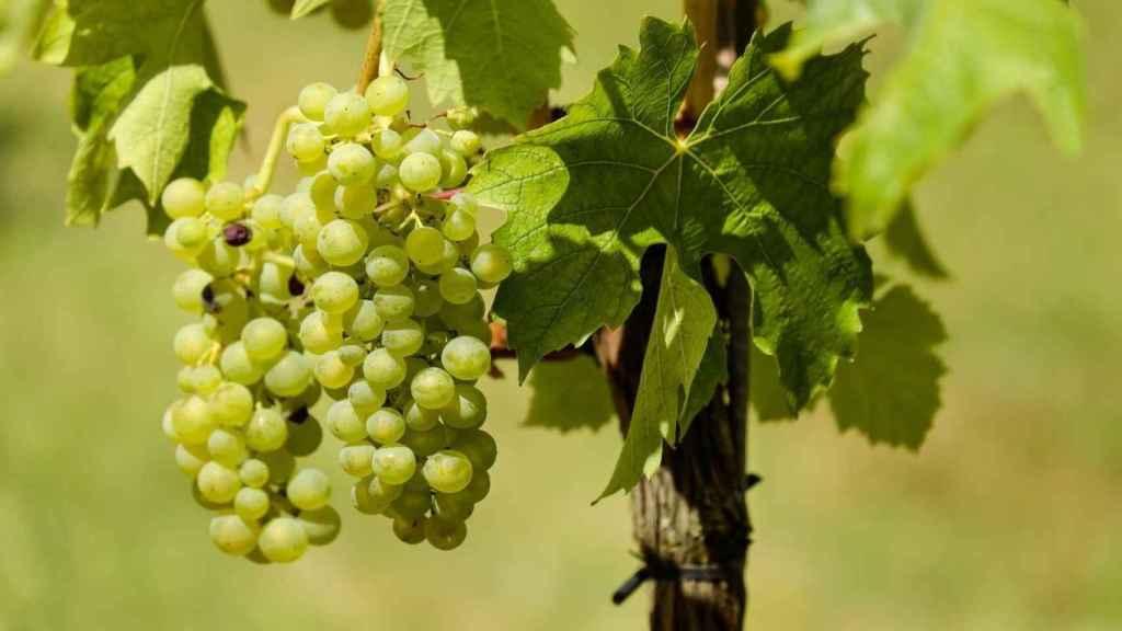 La malvar es la gran uva blanca de la D.O de Madrid.
