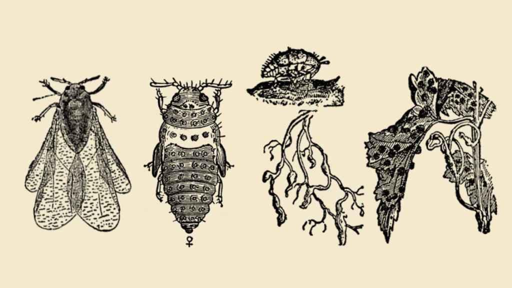 Filoxera, el insecto más temido.