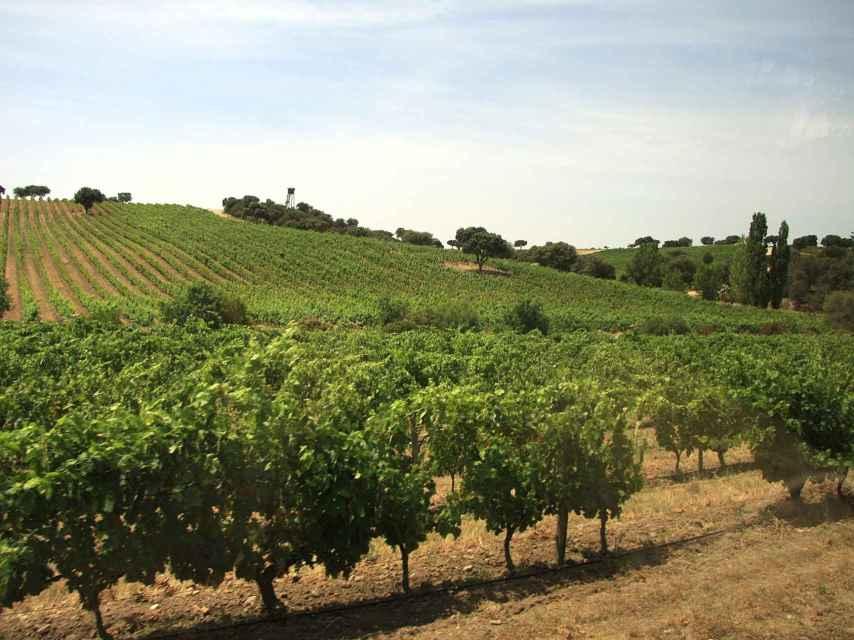 Valquejigoso tiene una de las parcelas de viñedo más impresionantes de Madrid.