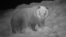 La osa Sarousse captada por una cámara de infrarrojos.