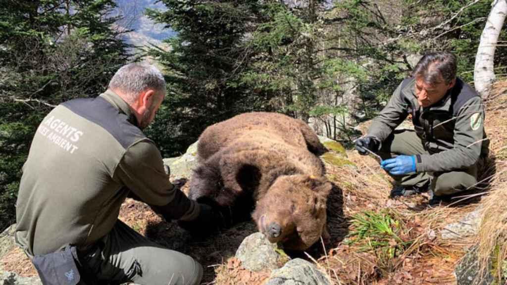 El oso Cachou, un macho muy depredador que fue envenenado.