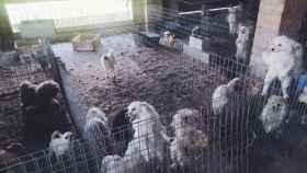 Un criador de perros ilegal en Granada les cortaba las cuerdas vocales para que no le delatasen