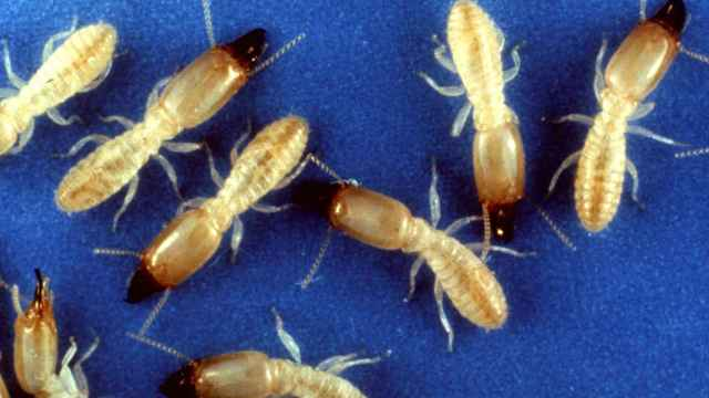 Una imagen de la termita oriental.