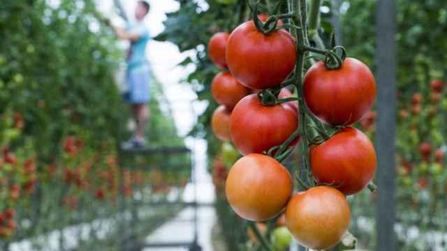 Cultivos de invernadero, un sistema para disfrutar de verduras frescas también en invierno