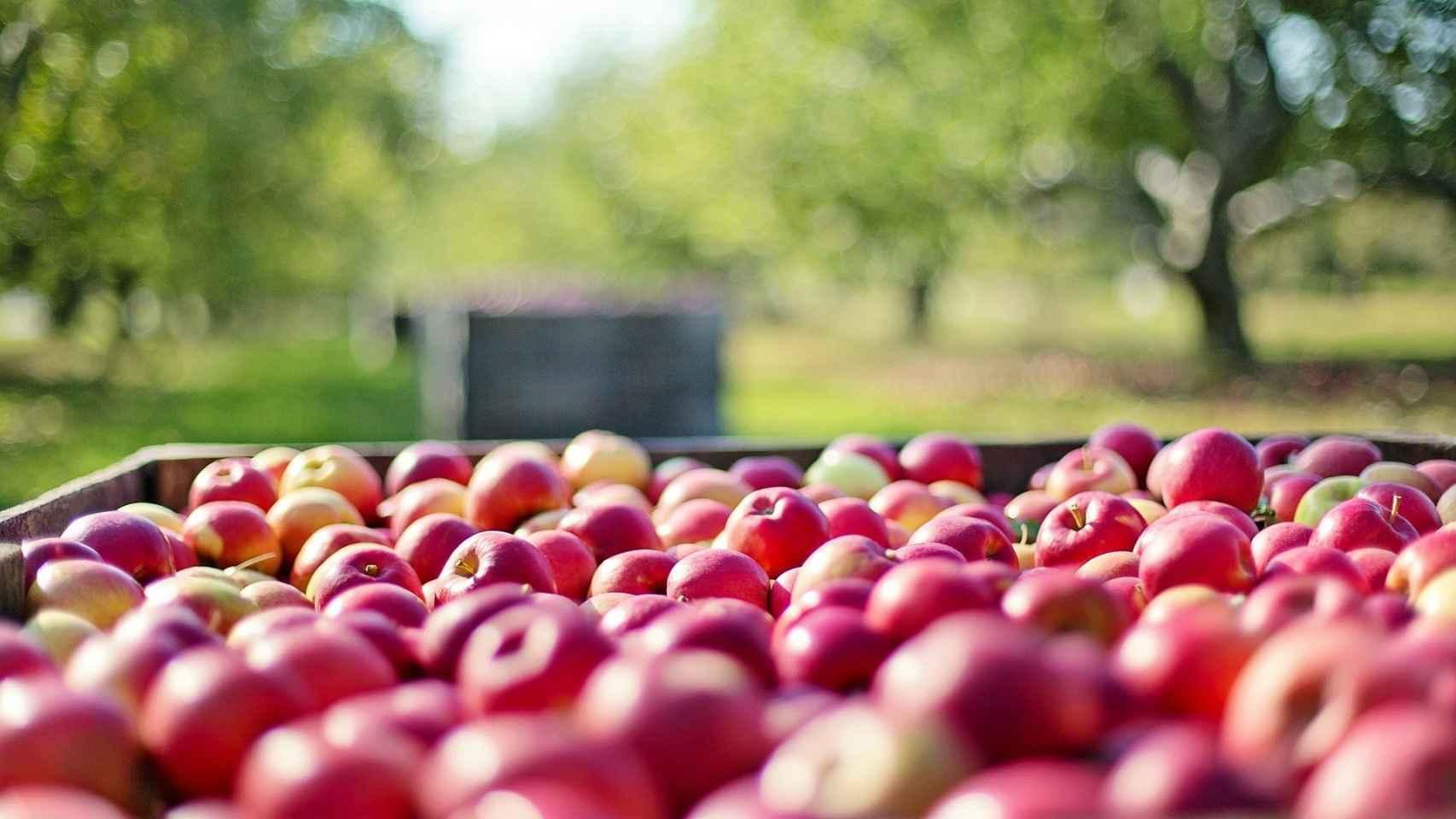 Un cesto de manzanas.