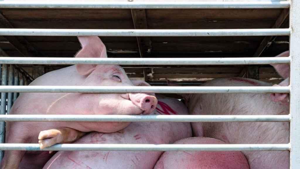 Estos Son Los Peligros Que Amenazan El Bienestar De Cerdos Conejos Y Vacas