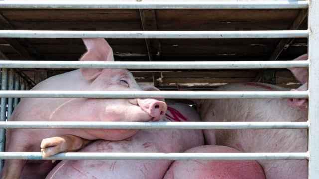 Un cerdo antes de entrar al matadero.