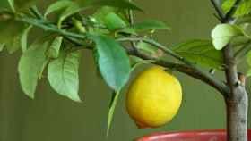 Cuidados para cultivar un limonero en una maceta.