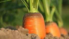 Una plantación de zanahorias.
