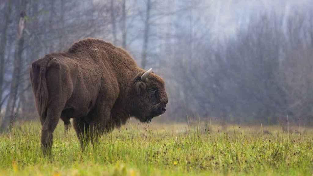 Bisonte europeo. / © Rafał Kowalczyk