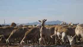 Los científicos analizan las heces de oveja para detectar microplásticos en los campos agrícolas.