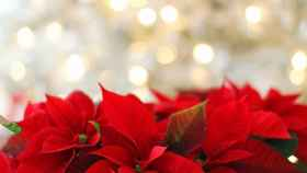 Las flores más bonitas para decorar en Navidad