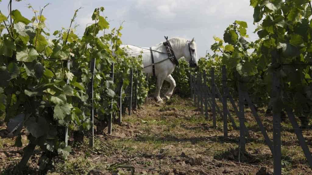 Los vinos de Louis Roederer siguen una filosofía ecológica y biodinámica.