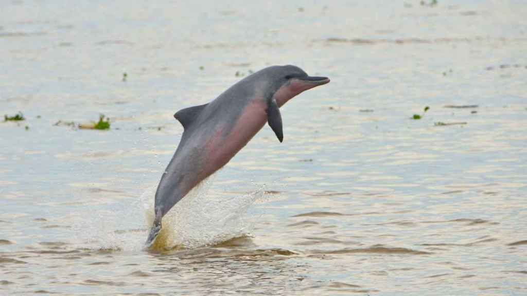 Delfín de agua dulce.
