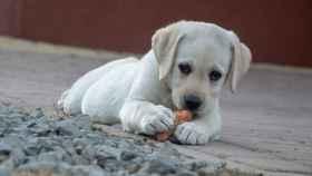 ¿Pueden comer mango los perros?
