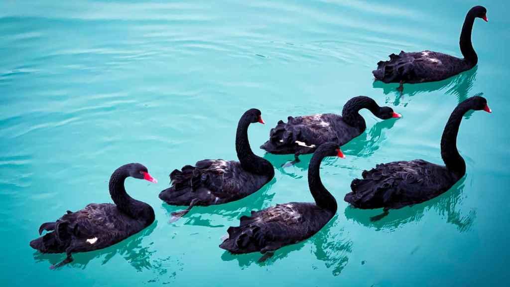 Un grupo de cisnes negros en un lago.