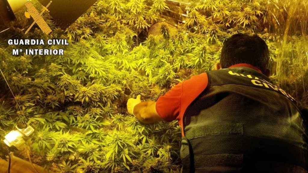 Plantación de marihuana1