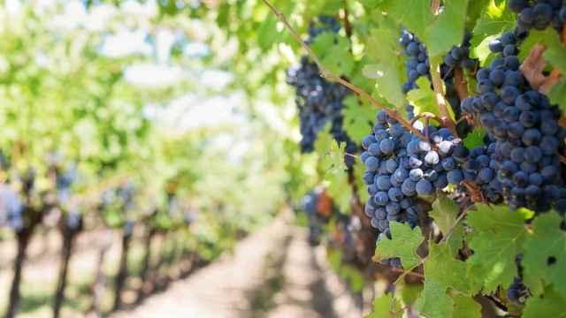 Una extensión de viñedos.