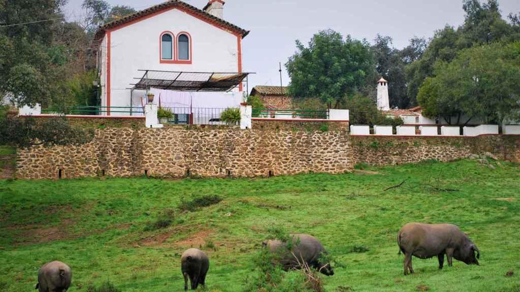 Los cerdos en la Dehesa de Sierra Morena.