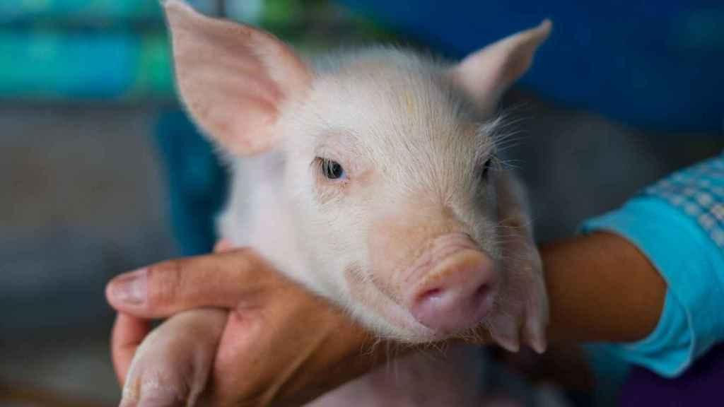 El sector porcino ha sido objeto de esta investigación. Foto: IRTA.