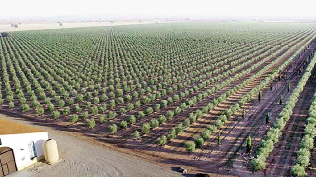 La familia Mora tiene 260 hectáreas de olivares en Almagro (Ciudad Real).