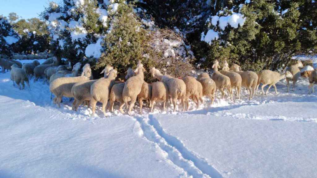 Unas ovejas en el municipio turolense de Bello.