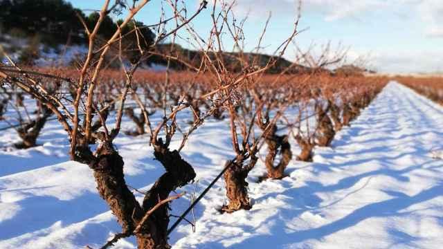La gran nevada ha afectado de forma positiva al viñedo.