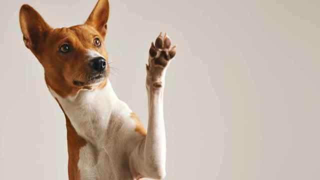 Cómo hacer un vendaje para un perro de forma sencilla