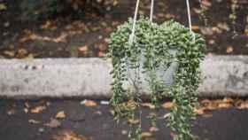 Cómo cuidar una planta rosario: cuidados y consejos