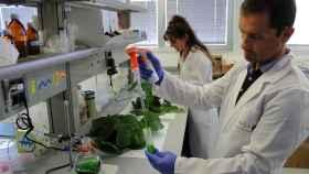 Un investigador, durante uno de los procesos con hoja de morera.