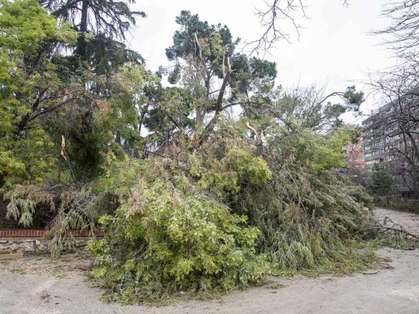 Hasta 10.000 árboles se han visto afectados por Filomena.