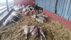 Brutal ataque de lobos en una explotación ganadera de Zamora con medio centenar de ovejas muertas 2