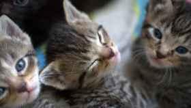 ¿Por qué las gatas trasladan a sus gatitos?
