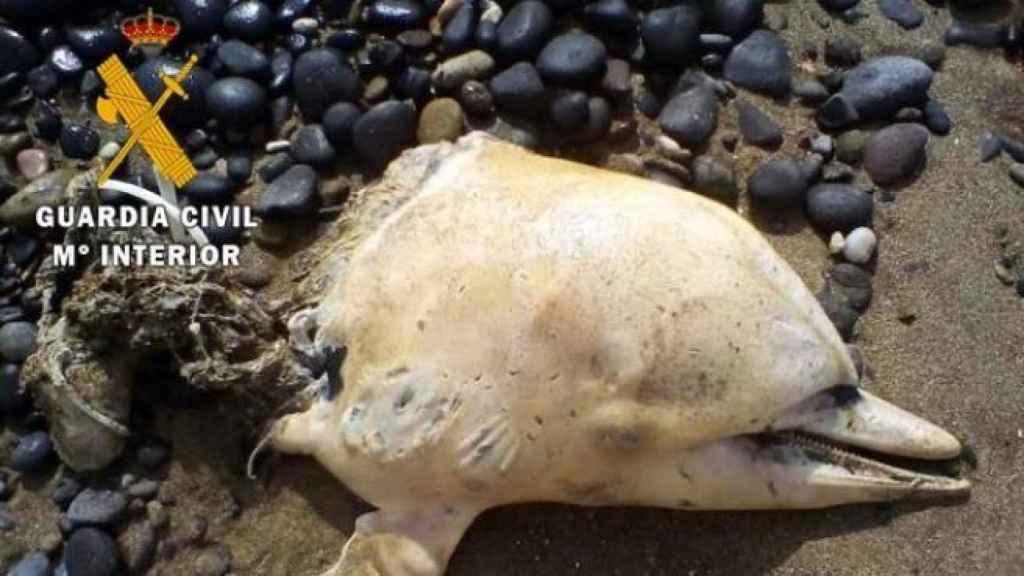 Un delfín listado decapitado en una playa de Almería.