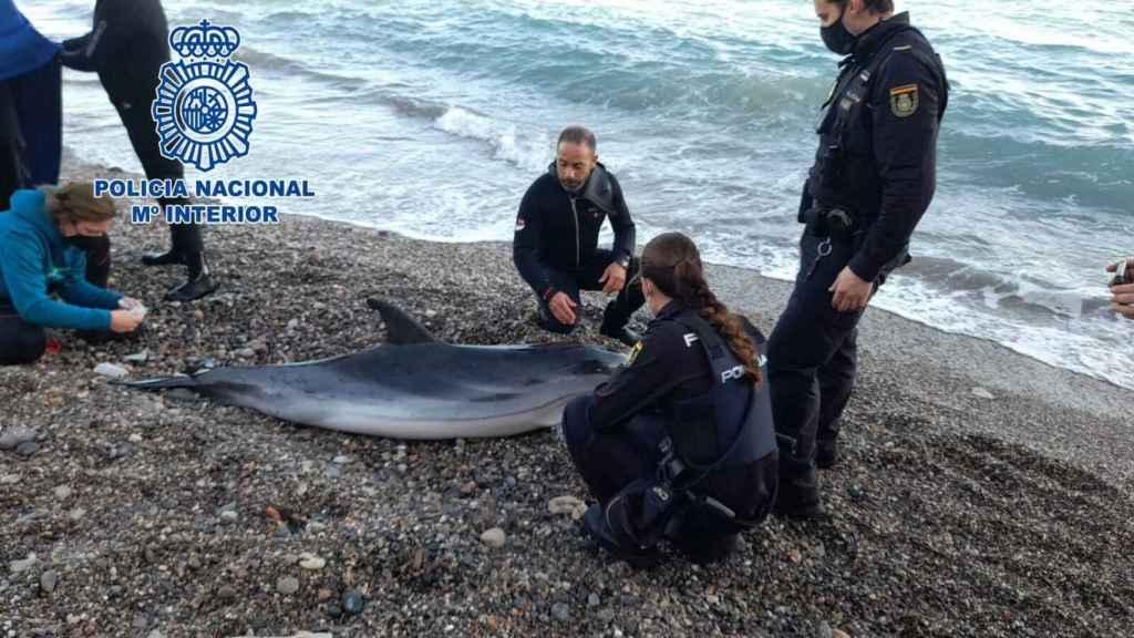 La Policía Nacional salva a un delfín varado en una playa de Almería: así fue el exitoso rescate