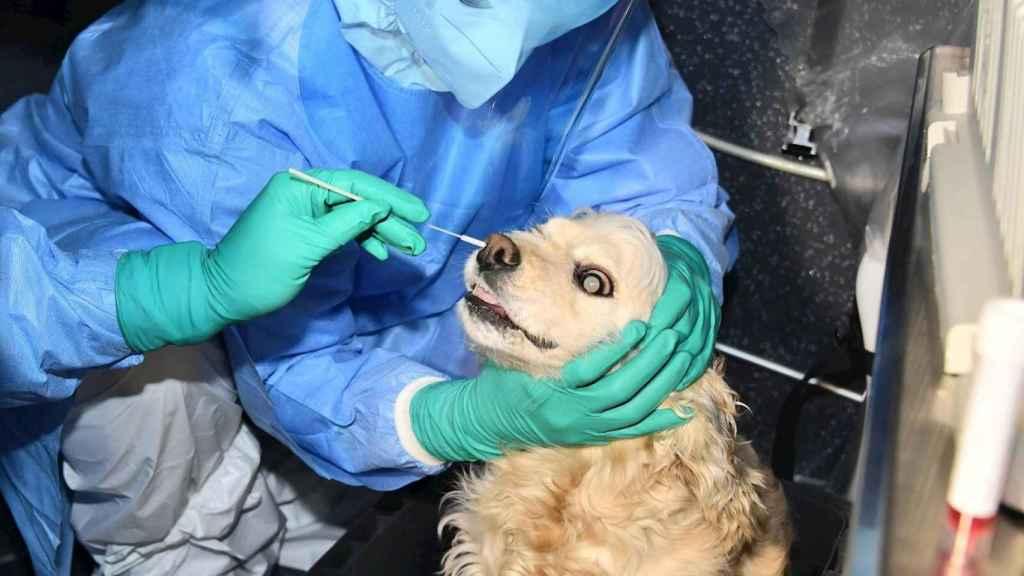 Hisopado a un perro en Seúl para realizarle una prueba PCR.