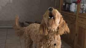 ¿Por qué aullan los perros?