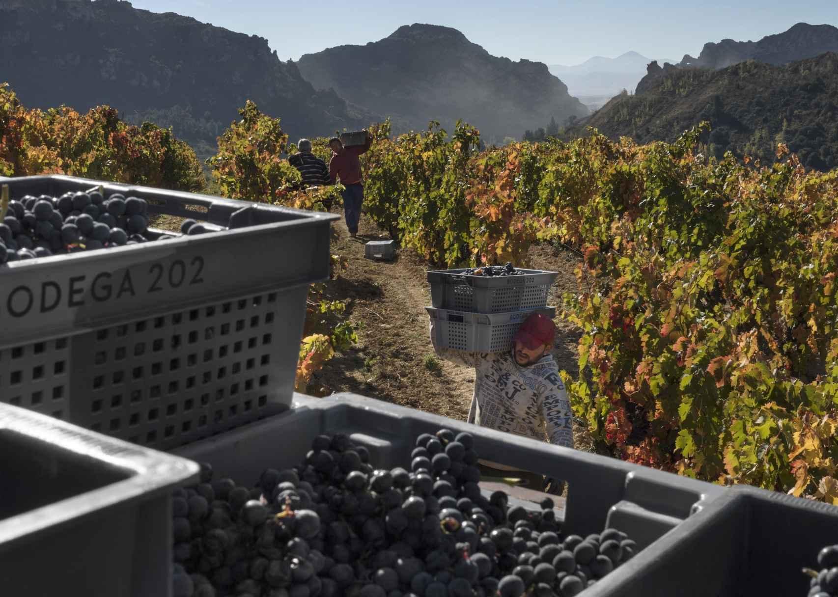 Vendimia manual de los viñedos de Bodega 202.