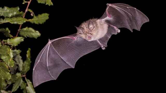 El murciélago grande de herradura (Rhinolophus ferrumequinum) podría albergar 68 nuevos coronavirus a largo plazo, según el nuevo estudio.