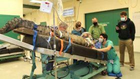 Un grupo de veterinarios extraen un zapato del estómago de un cocodrilo.