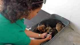 Imagen de archivo de una trabajadora del Centro de Recogida de Perros de la Diputación de Albacete cuidando unos cachorros