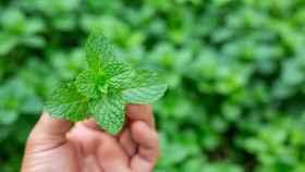 Cómo cuidar la planta de menta: cuidados y consejos