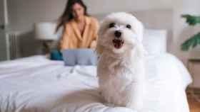 Las 10 razas de perros que no sueltan pelo