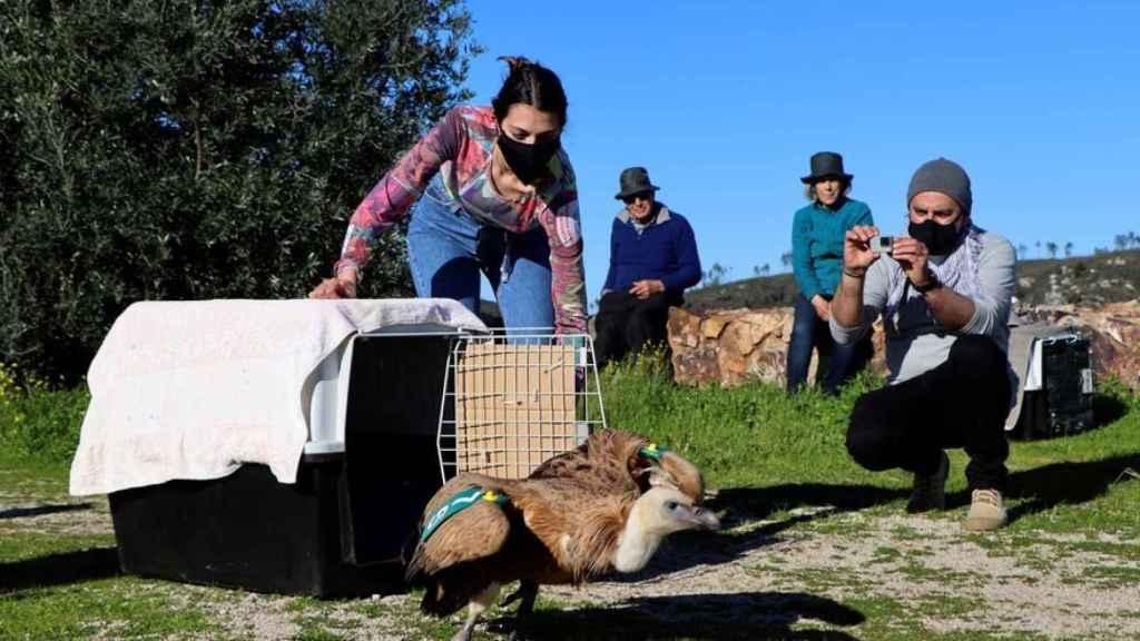 Los cuidadores liberan a un buitre leonado.
