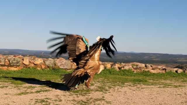 El buitre ha regresado a su hábitat silvestre tras recibir cuidados en cautividad.