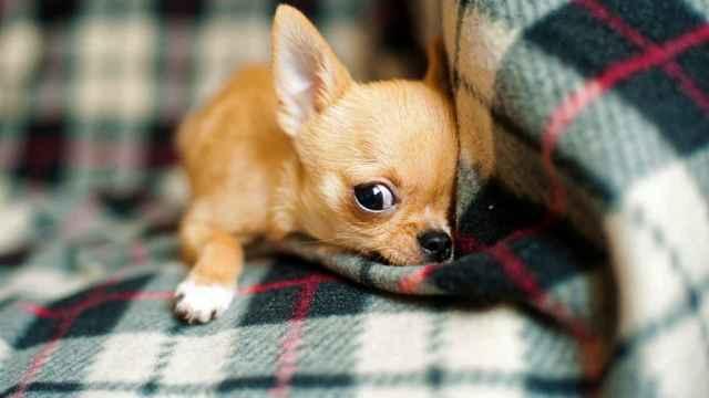 Las razas de perros que más ladran