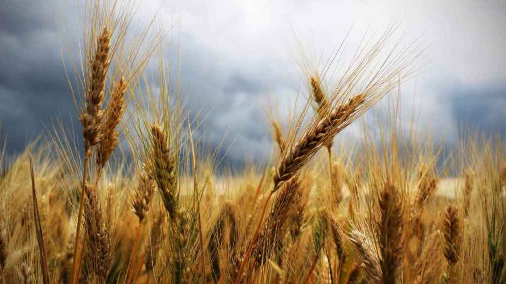 Los cultivos de trigo ocupan hoy una superficie de 217 millones de hectáreas en todo el mundo.