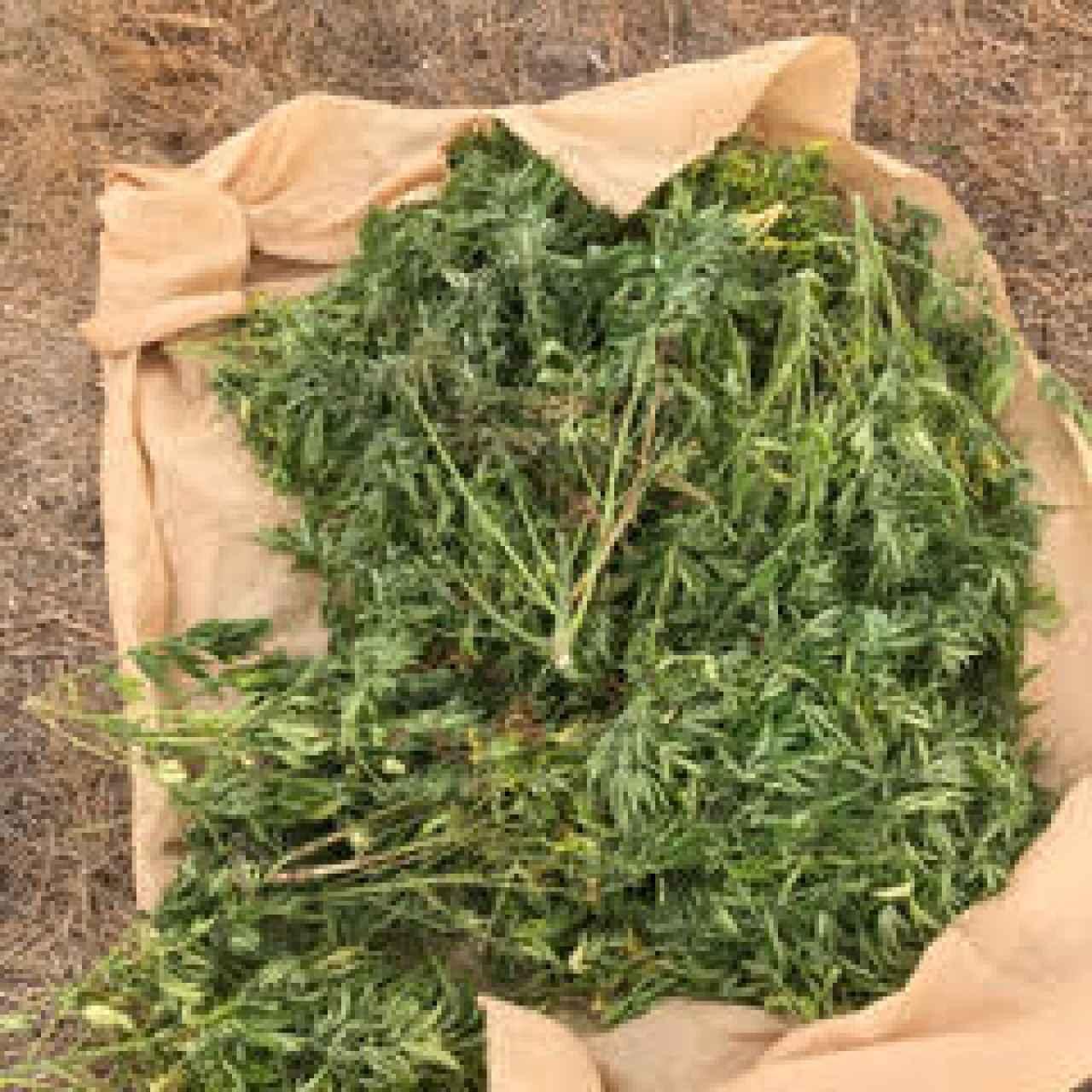 Unas plantas de cáñamo que se le cayeron a unos ladrones que entraron a robar en la finca.