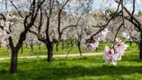 Los mejores lugares para ver almendros y cerezos en flor en España
