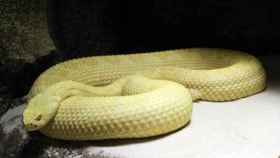 Una de las serpientes de cascabel que pueden verse en Faunia